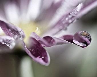 Macro Photography romantic Plum purple photo wedding women flower soft daisy rain water drops spring green white yellow - 4x6 Fine Art Print