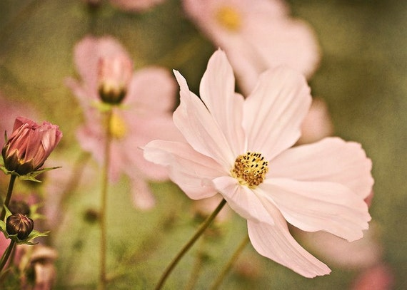 Nature Photography Flowers home decor wall art for her romantic pink cosmos peach gold golden green spring photograph photo - Fine Art Print