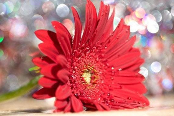 Red Gerbera Daisy - 8x12 Fine Art Print