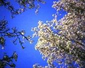 Spring Blossom - Genuine Lomography Photo - 8x8 Square - trees, blue sky, wall art