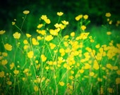 Springtime English Meadow Buttercups Photograph - 7x5 - flowers, spring, summer, yellow, green, floral, season, retro, vintage style, lomo