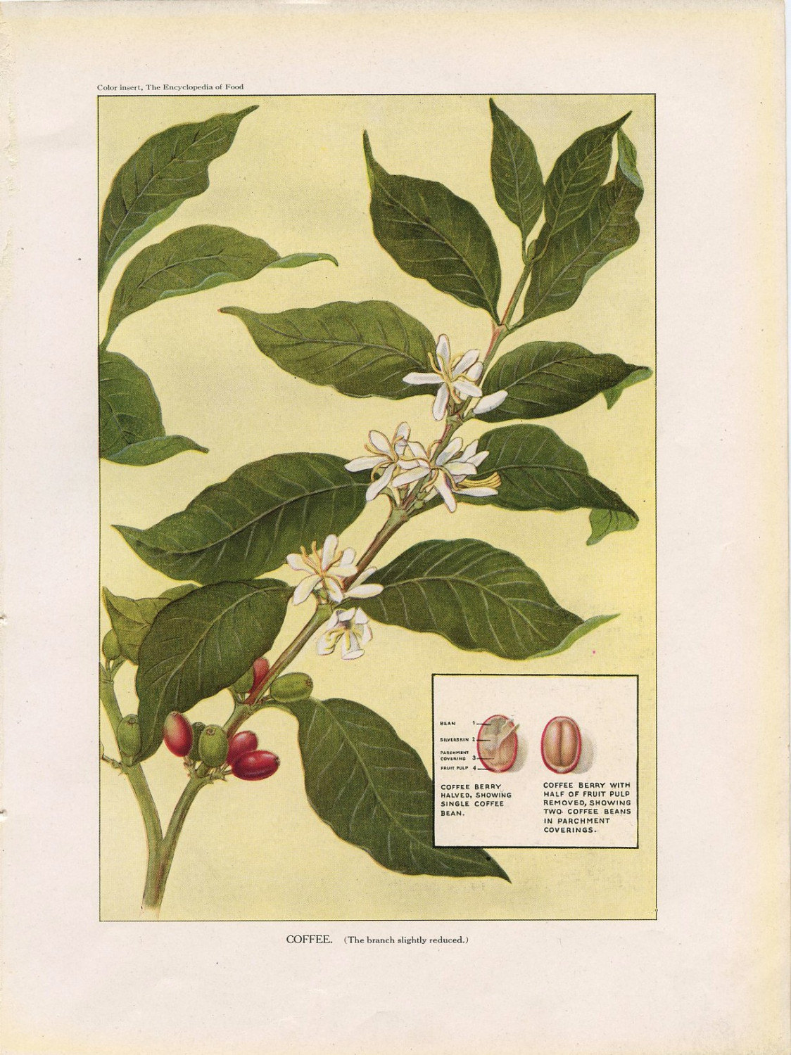 1923 Coffee Bean and Plant from The Encyclopedia of Food by