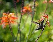 Ruby Throated Hummingbird with an Orange Cardinal Flower 8x10