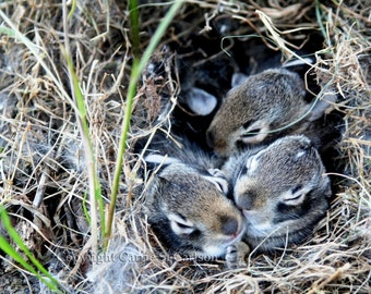 Baby Wild Rabbits (little foot) -  Fine Art Photography 8x10