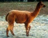 Prime First Quality Alpaca Fleece   1 pound Raw  - Gabriel