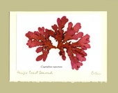 Pressed Seaweed Art, Cryptopleura ruprectiana - Fine Art Photo - Blank Greeting Card