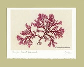 Pressed Seaweed Art, Callophyllis flabellulata - Fine Art Photo - Blank Greeting Card