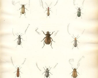 Antique hand-colored lithograph - beetles, bugs, insects No. 25