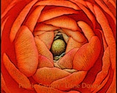 Apricot Ranunculus Fine Art Print
