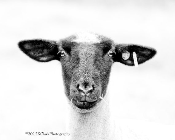 Sheepishly  8x10 Black and White photo Country home Farm  minimal decor for Nursery and baby