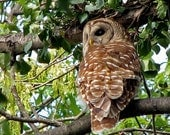 Down Town Night Owl In The Daylight... Barred Owl Strix varia Wildlife photography by OwlVipersWildlife