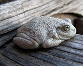 Reserved listing for Patricia - Wildlife photography Canyon Tree Frog Hyla arenicolor