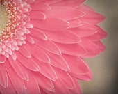 close to you... pink daisy garden style botanical fine art flower photo