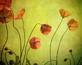 poppies from behind squared... golden flower garden photograph from leapinggazelle