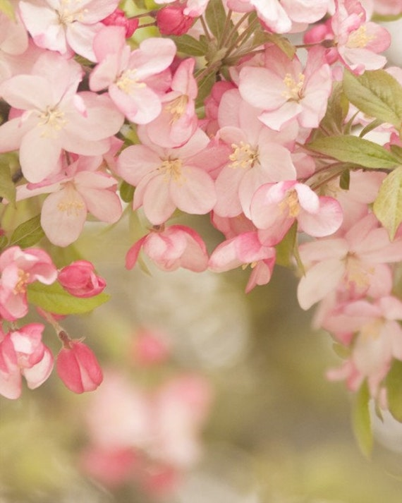 Items similar to soft spring... apple tree blossom photo ...