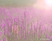 Fields Of Purple Wildflowers Photography Print  - Botanical - Summer  Blooms - Nature Photography