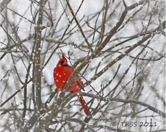 Winter Cardinal Photo - Cardinal Photography -  Winter Scene - Bird Photography - Nature - Greeting Card
