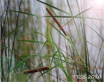 Wetland Cattails 2 Photography - Nature = Cattail Photo