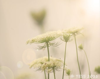 Queen Annes Lace Photo -  Flower Photo - Botanical Photography Print - Botanical Print - Shabby Chic - Flowers