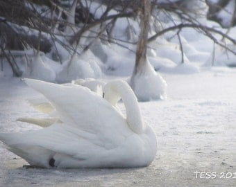 Snowy Swan Photography - Winter Swan Print - Swan Print - Fairytale Photography - Nature print