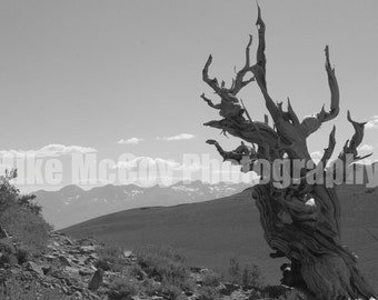Bristlecone Pine and Sierra Nevada Mountains