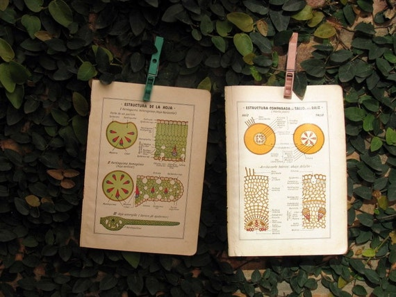Botany,Two Vintage Illustrated Pages