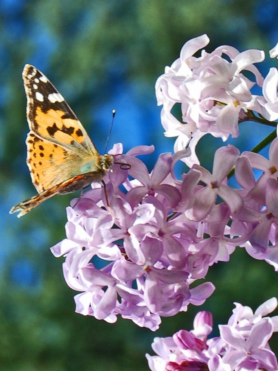 Butterfly on Lavender Lilac-Fine Art photography-Wall Art-Home Decor-Nature Photography- Garden Wall Art
