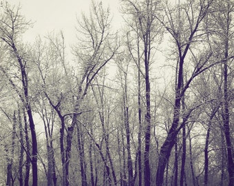 Cinnamon - 12 x 12 Fine Art Photograph - black and white trees nature landscape winter home decor print