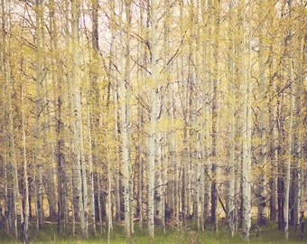 Spring Aspens - Nature Photograph - yellow green trees landscape spring home decor print