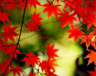 Adagio - Maple leaves Maple ruby red nursery art Japanese Maple On fire green and red autumn fall seasonal nursery Fine Art Print 8x8