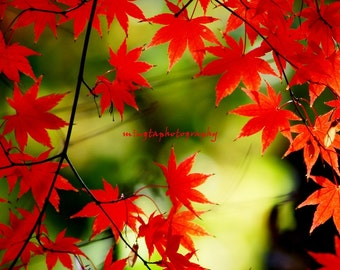 Adagio - Maple leaves nursery christmas gift for her autumn red maple red Japanese maple fall seasonal  Fine Art Print