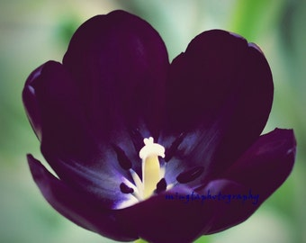 Queen of the night - black tulip Purple tulip spring tulip purple flower queen Valentine day gift color photography wall art deco