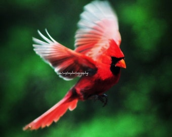 Cardinal In Flight -  Cardinal red Male Cardinal Christmas red and green Fly with me Flying to you ruby red angry bird Fine Art Print