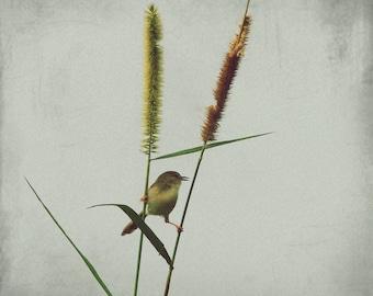 Tweet tweet  means I love U - Original Tawny Wren Wabbler Cute little bird Resting Scouting Green Spring decoration Fine Art Print