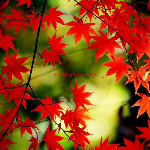 Adagio - Maple leaves nursery christmas gift for her autumn red maple red Japanese maple fall seasonal  Fine Art Print 16x16 limited 1/50