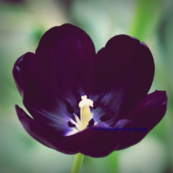 hnliche artikel wie k nigin der nacht schwarze tulpe lila tulpe fr hling tulpe lila blume. Black Bedroom Furniture Sets. Home Design Ideas