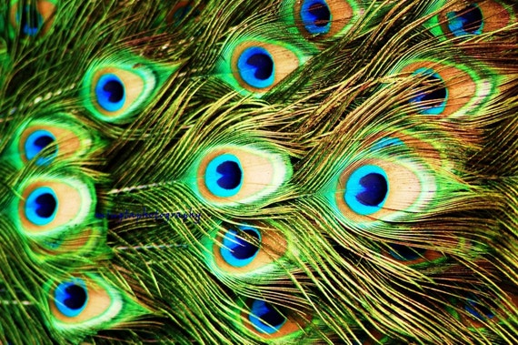Peacock Eyes - turquoise colorful feathers for her bird love bird gift emerald green spring decor Fine Art Print limited 1/50 20x30