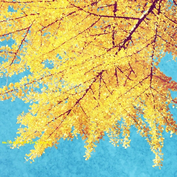 Gold Of Autumn - Gold Yellow Ginkgo Ginko leaves yellow autumn art decal wall decal nursery color photography decor