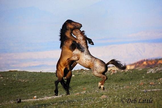 Chances Confrontation - wild stallions - Fine Art Photograph