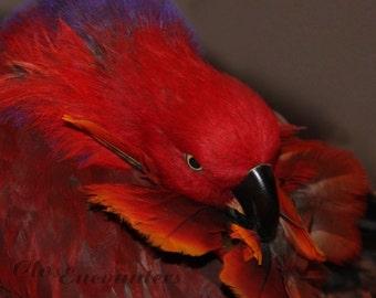 Angry Bird - Eclectus Parrot Bird Photography Print Home Decor Wall Art Pet Bird for Bird Lover or Kids Room