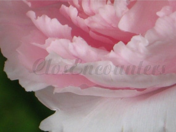 PEONY Pink Sensual Petals - READY to HANG - Framed Archival Print - Botanical Garden Photography Home Decor Wall Art