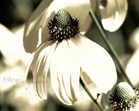 Coneflower - Sepia Black and White Sage - 10x8 - Macro Fine Art Photograph Print - Garden Photography Home Decor Wall Art
