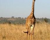 Giraffe Standing Tall--8x10 Photograph