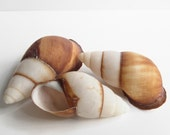 Gorgeous Shells...Three Lovelies