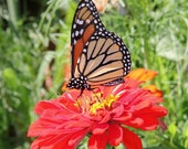 Vibrant Monarch Butterfly Photo Note Card