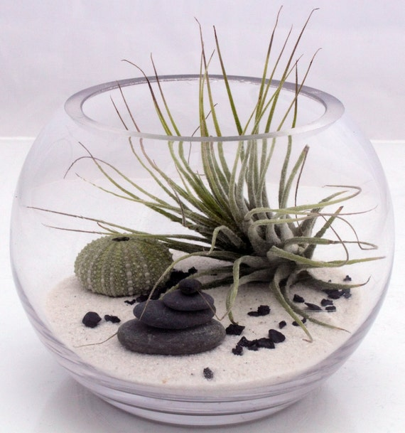 Small desktop zen garden terrarium kit- live Tillandsia Ionantha air plant, white sand, sea urchin and stone stack- round fish bowl style
