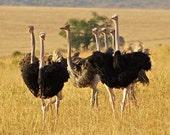 Hautey Tautey Ostriches