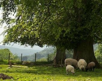 Sheep Pasture, Scotland