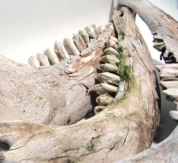 Vintage Bones Cow Jawbone Teeth Skeleton Rustic Primitive