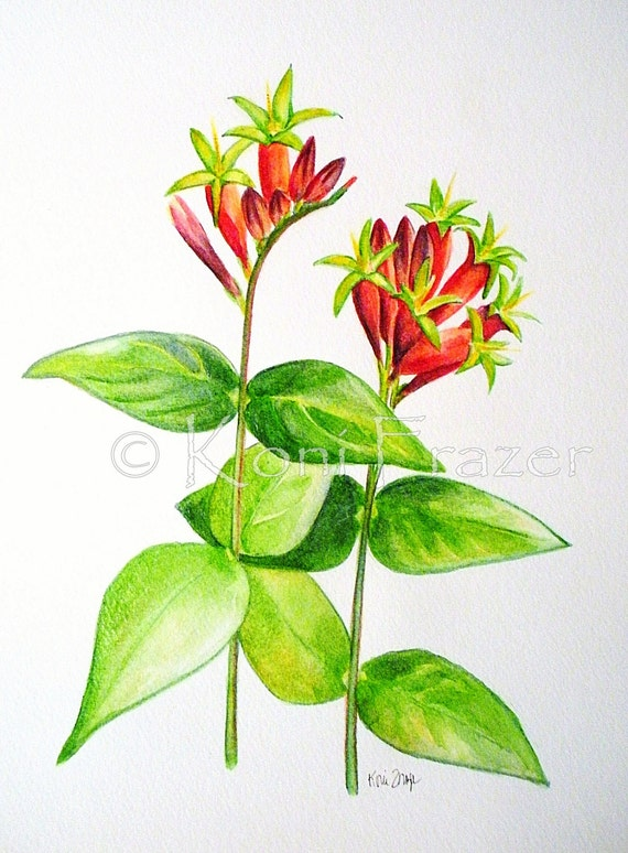Indian Pink wildflowers  Pink root original watercolor painting fine art